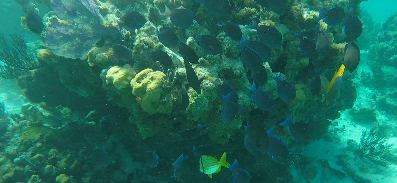 blue tang fish and 1 yellow fishy