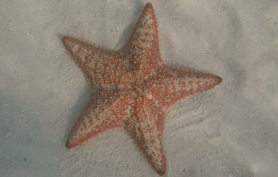 starfish in the clear water