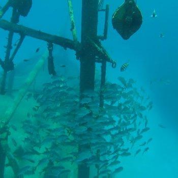 School of fish swimming around Kittiwake