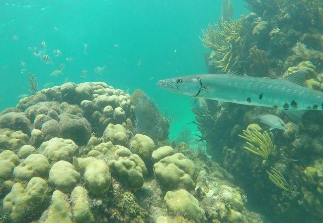 barracuda snorkeling davis